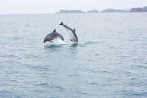 Delfine Neuseeland Delfinbeobachtung Gruppenreise Naturreise Exkursion geführte Rundreise deutsch Individualreisen Mietwagenreise Neuseelandspezialist Reiseveranstalter Auckland