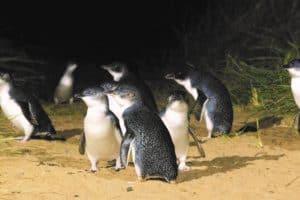dunedin Blue-Penguin natur blauaugen pinguine kolonie natur erlebnisreise studienreise kleingruppe deutschsprachig neuseelandspezialist tnz