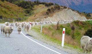 neuseeland schafe erlebnisreise auf eigene faust mietwagenrundreise selbstfahrer kleingruppeneise deutsch reiseleitung angebote neuseeland rundreise