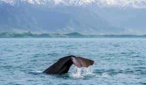 neuseeland wale erlebnisreise rundreise mietwagenreise auf eigene faust tierwelt hochzeitsreise luxusurlaub neuseelandreise