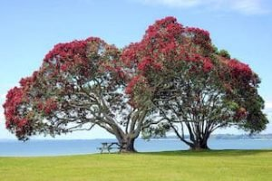 Auckland Pohutukawa Weihnachtsbaum Tagestour Sehenswürdigkeiten Auckland Tagesausflug deutsch Reiseleiter Kreuzfahrt Landgang Neuseelandspezialist
