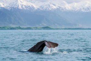 Neuseeland Walbeobachtung Urlaub Kaikoura Rundreise Mietwagenreise Gruppenreisedeutsch Reiseveranstalter Spezialist Auckland