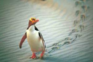 Neuseeland pinguine natur urlaub neuseeland rundreise deutsch geführt gruppenreise 3 wochen neuseelandurlaub mietauto individualreise