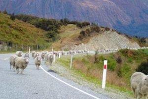Schafe Neuseelandurlaub 3 wochen Gruppenreisen deutsch Neuseeland Mietwagen Rundreisen geführte tour Neuseelandspezialist urlaub buchen Rundreise
