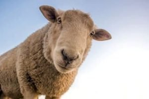 Neuseeland Schafe Rundreise Urlaub Schaffarm Gruppenreise 3 wochen Mietwagenreise Selbstfahrer Auckland Tagestouren buchen Reiseanbieter