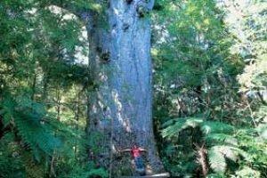neuseeland reise kauri nationalparks wandern natur erleben neuseelandreise urlaub individuell geführte gruppenreise angebote neuseelandspezialist reiseanbieter