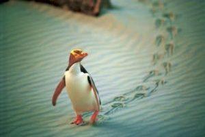 Pinguine Otage urlaub Neuseeland Gruppenreise Rundreise Selbstfahrer Mietwagenreise deutscher reiseveranstalter reiseführer Neuseeland Spezialist Luxusreisen Individualreise Auckland Tagestouren